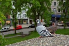 2 голубя сидя на стене Стоковые Фото