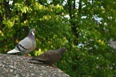 2 голубя сидя на стене Стоковые Фотографии RF