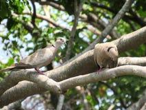 2 голубя табака georges вися вне совместно в дереве Стоковые Фото