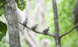 3 голубя точек соприкосновения сидят в дереве Стоковые Фотографии RF