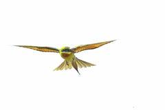 Голуб-замкнутый Bee-eater в полете изолированном на белизне Стоковое Фото