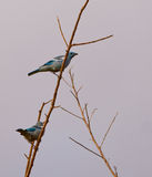 Голуб-серый Tanager Стоковые Изображения RF