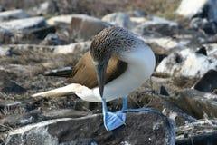 Голуб-footed олух (nebouxii Sula) Стоковые Изображения