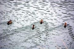 Гонка воды утки Стоковое фото RF