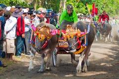 Гонка коровы Бали традиционная стоковая фотография rf