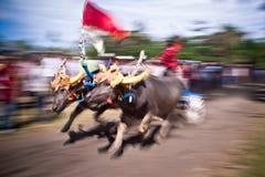 Гонка коровы Бали традиционная стоковое фото