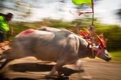 Гонка коровы Бали традиционная стоковая фотография