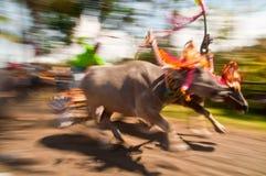 Гонка коровы Бали традиционная стоковые фотографии rf