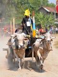 Гонка коровы в Yogyakarta, Индонезии стоковая фотография
