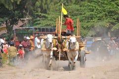 Гонка коровы в Yogyakarta, Индонезии стоковые фото