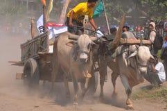 Гонка коровы в Yogyakarta, Индонезии стоковое изображение rf