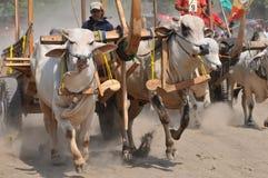 Гонка коровы в Yogyakarta, Индонезии стоковые изображения rf