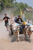 Гонка коровы в Yogyakarta, Индонезии стоковое изображение