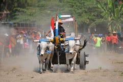 Гонка коровы в Yogyakarta, Индонезии стоковое фото rf