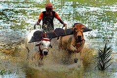 Гонка коровы стоковая фотография rf