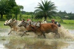 Гонка коровы стоковое фото rf