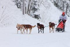Гонка, собаки и водитель собаки скелетона во время конкуренции на дороге зимы стоковая фотография rf