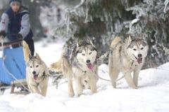 Гонка собак проекта на снеге Стоковая Фотография