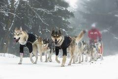 Гонка собак проекта Стоковые Изображения