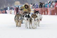 Гонка Beringia розвальней собаки Камчатки Россия, Дальний восток Стоковое фото RF