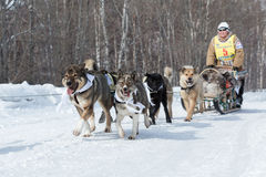 Гонка Beringia розвальней собаки Камчатки Русский Дальний восток, Камчатка Стоковое Изображение RF