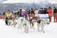 Гонка Beringia собаки розвальней Камчатки Россия, Дальний восток Стоковое Изображение