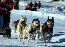 гонка musher действия Стоковые Фото