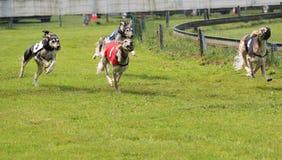 Гонка Sighthound Стоковое Фото