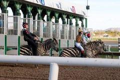 Гонки зебры в Фениксе, Аризоне Стоковые Изображения RF