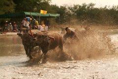 Гонки индийского буйвола в Таиланде Стоковое фото RF