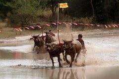 Гонки индийского буйвола в Таиланде Стоковые Фото