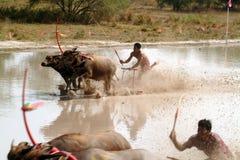 Гонки индийского буйвола в Таиланде Стоковые Фотографии RF