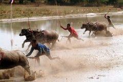 Гонки индийского буйвола в Таиланде Стоковые Изображения RF