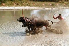 Гонки индийского буйвола в Таиланде Стоковое Изображение RF