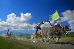 Гонки коровы Стоковые Изображения RF