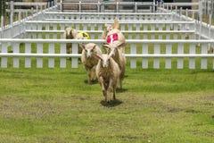 Гонки овец Стоковые Изображения RF