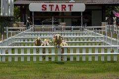 Гонки овец Стоковая Фотография RF