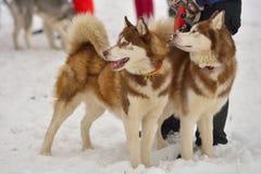 Гонки собаки скелетона стоковое фото rf
