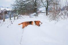 Гончая выхода пластов с предпосылкой снега Стоковое Фото