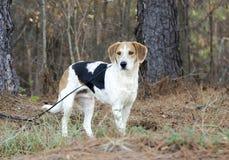 Гончая собака породы бигля смешанная харриером на поводке Стоковое фото RF
