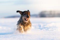 Гончая собака таксы в freezy зимнем времени стоковое изображение rf