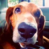 Гончая собака стоковые фотографии rf