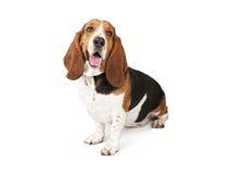 гончая собаки basset смотря бортов к Стоковое Изображение