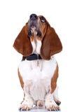 гончая собаки basset смотря вверх Стоковая Фотография RF