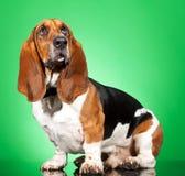 гончая собаки basset Стоковая Фотография