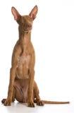 Гончая фараона Стоковая Фотография