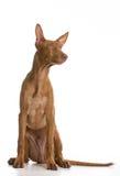 Гончая фараона Стоковое фото RF