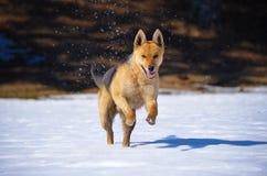 Гончая Fox Стоковые Изображения RF
