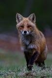 Гоньба Fox Стоковые Изображения RF
