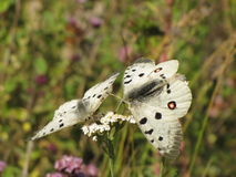 Гора, бабочка Стоковое Изображение RF